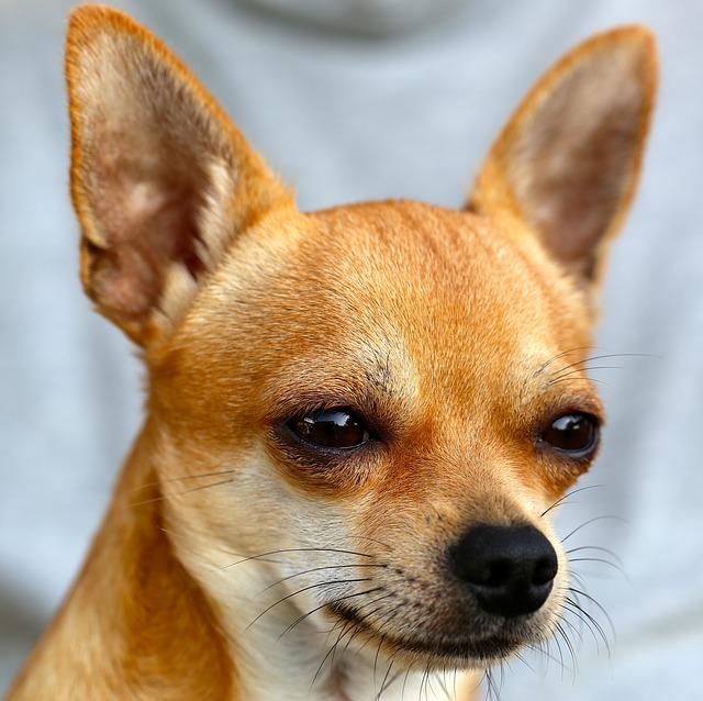 Одной из самой популярнейшей маленькой собакой является Чихуахуа