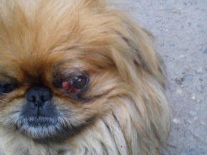 операция на глаз у пекинеса