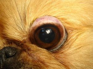 выпадает глаз у пекинеса