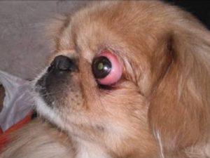 выпадение глаза у пекинеса