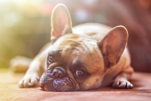ФРАНЦУЗСКИЙ БУЛЬДОГ: уход и содержание взрослой собаки и щенка